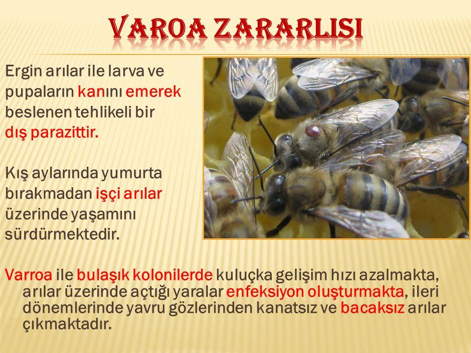 VAROA ZARARLISI Ergin arılar ile larva ve pupaların kanını emerek