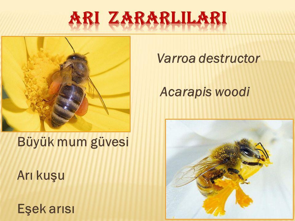 ARI ZARARLILARI Varroa destructor Acarapis woodi Büyük mum güvesi
