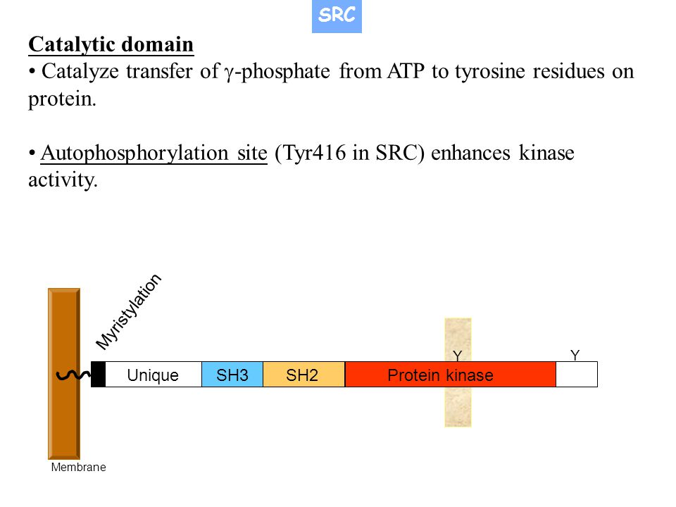 • Autophosphorylation site (Tyr416 in SRC) enhances kinase activity.