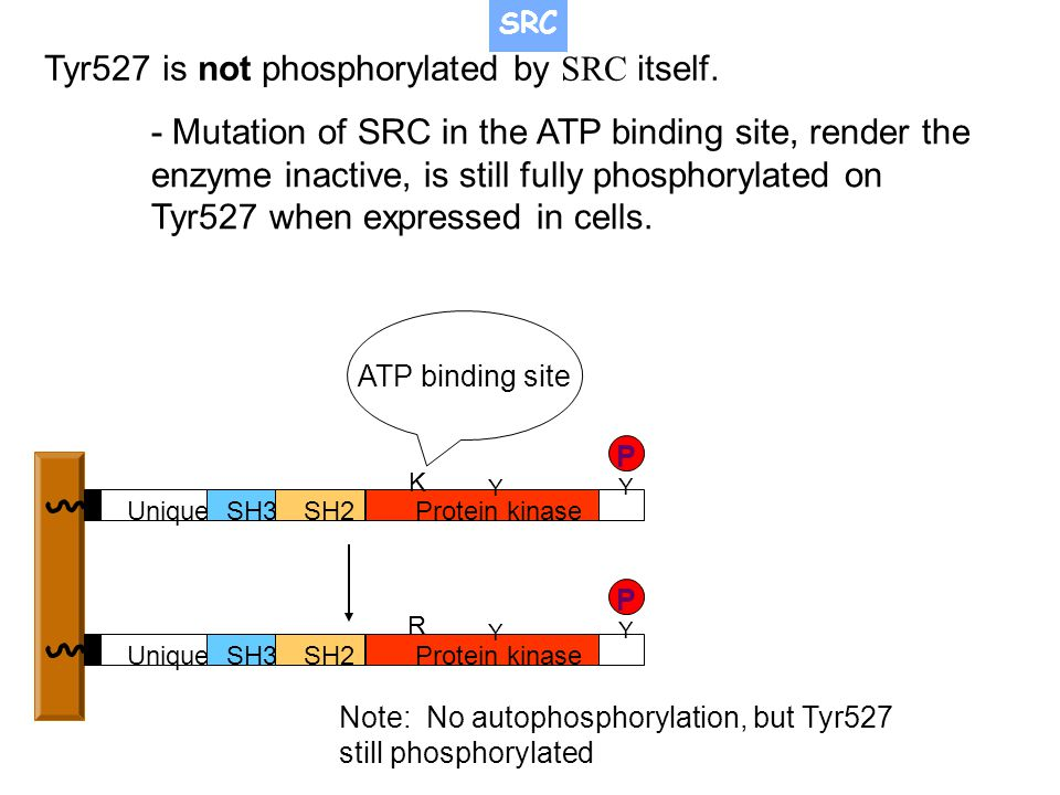 Tyr527 is not phosphorylated by SRC itself.