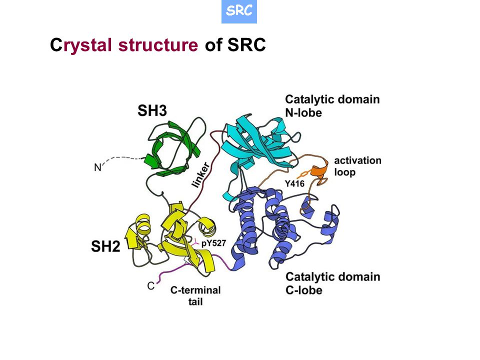 Crystal structure of SRC