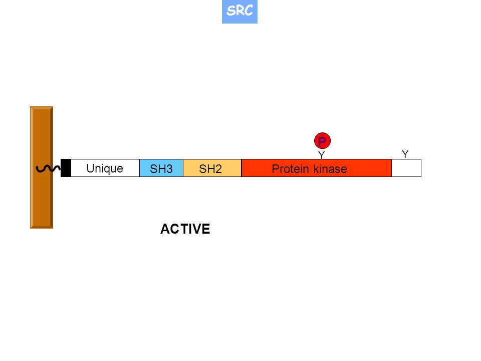 SRC P Y Y Unique SH3 SH2 Protein kinase ACTIVE