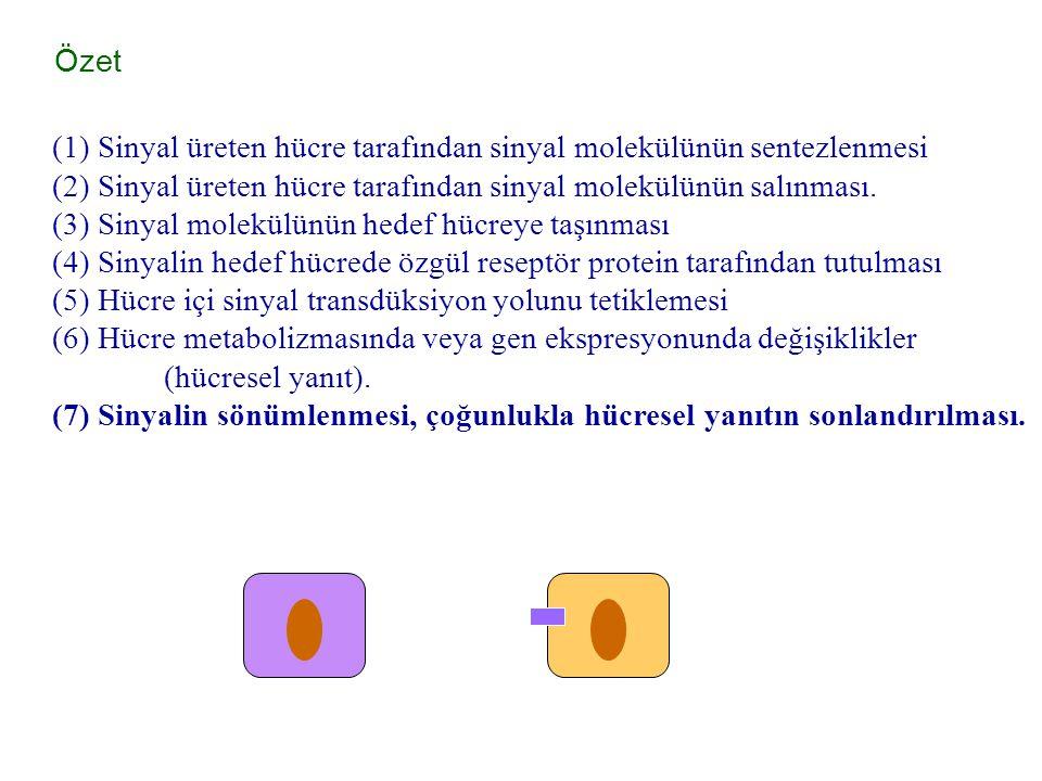 Özet (1) Sinyal üreten hücre tarafından sinyal molekülünün sentezlenmesi. (2) Sinyal üreten hücre tarafından sinyal molekülünün salınması.