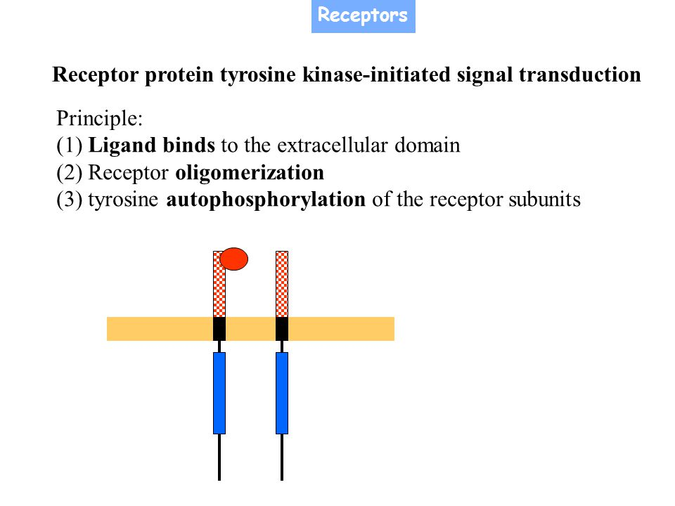 Receptor protein tyrosine kinase-initiated signal transduction