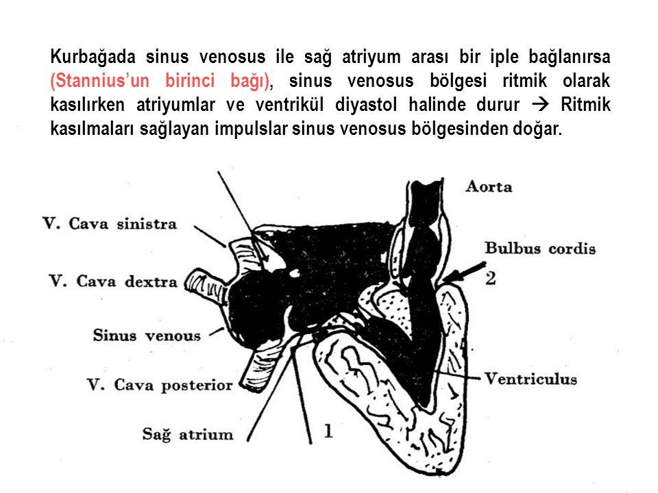 Kurbağada sinus venosus ile sağ atriyum arası bir iple bağlanırsa (Stannius'un birinci bağı), sinus venosus bölgesi ritmik olarak kasılırken atriyumlar ve ventrikül diyastol halinde durur  Ritmik kasılmaları sağlayan impulslar sinus venosus bölgesinden doğar.