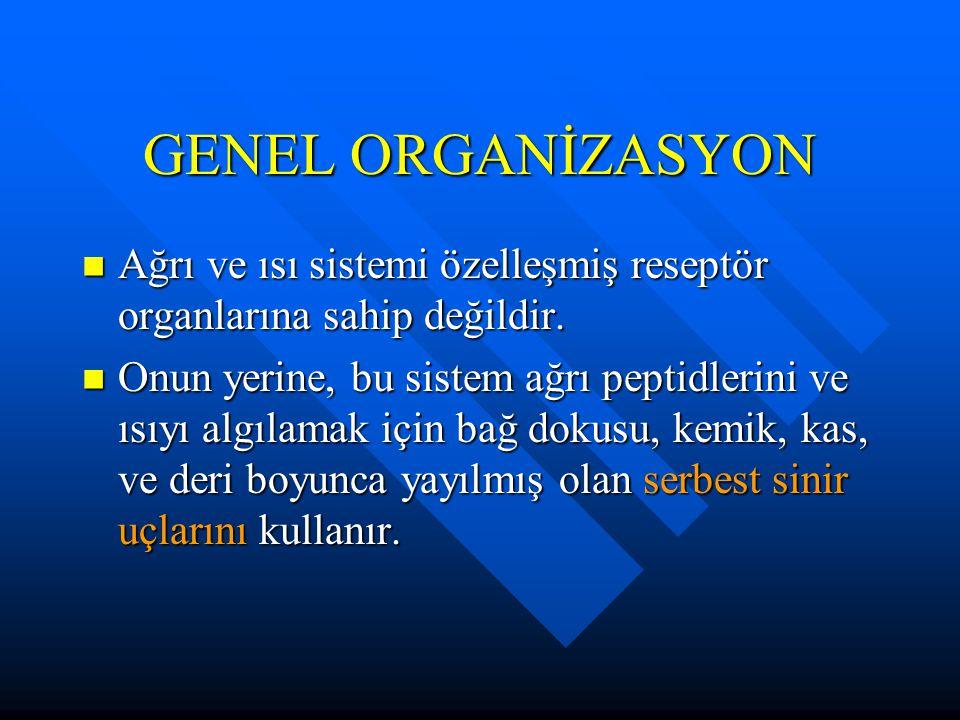 GENEL ORGANİZASYON Ağrı ve ısı sistemi özelleşmiş reseptör organlarına sahip değildir.