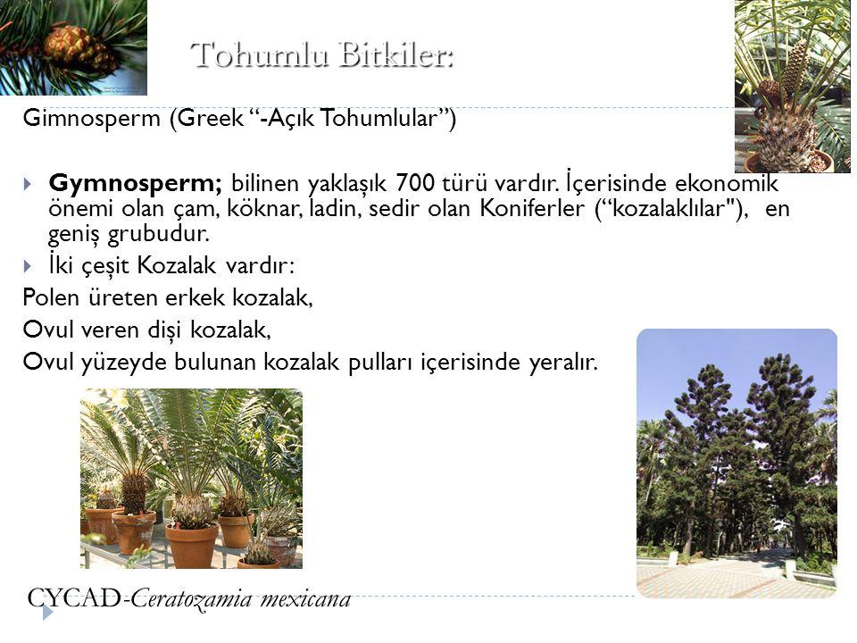 Tohumlu Bitkiler: CYCAD-Ceratozamia mexicana
