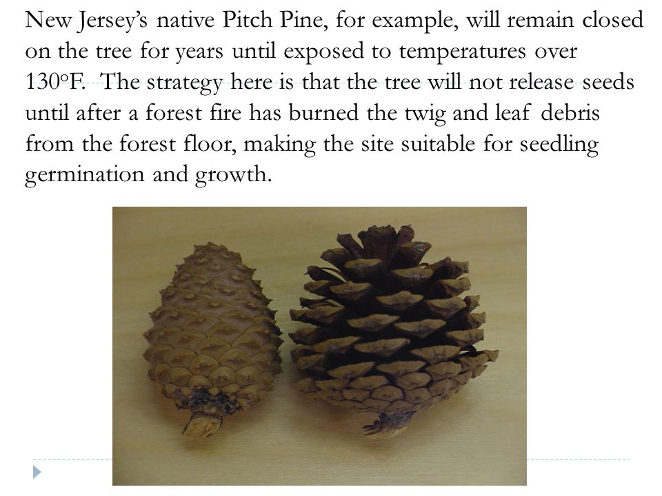 New Jersey's native Pitch Pine, for example, will remain closed on the tree for years until exposed to temperatures over 130oF. The strategy here is that the tree will not release seeds until after a forest fire has burned the twig and leaf debris from the forest floor, making the site suitable for seedling germination and growth.