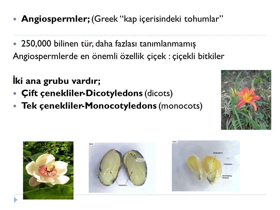 Angiospermler; (Greek kap içerisindeki tohumlar