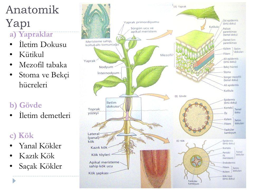 Anatomik Yapı a) Yapraklar İletim Dokusu Kütikul Mezofil tabaka