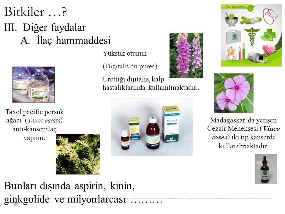 Taxol pacific porsuk ağacı (Taxus bacata) anti-kanser ilaç yapımı.