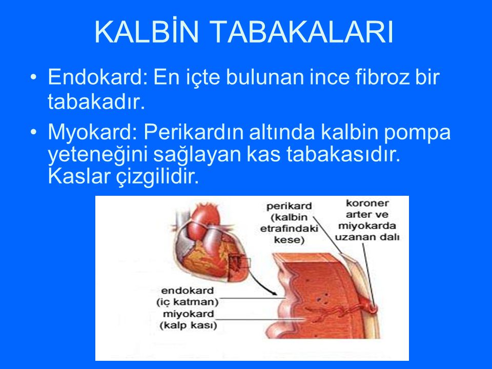 KALBİN TABAKALARI Endokard: En içte bulunan ince fibroz bir tabakadır.