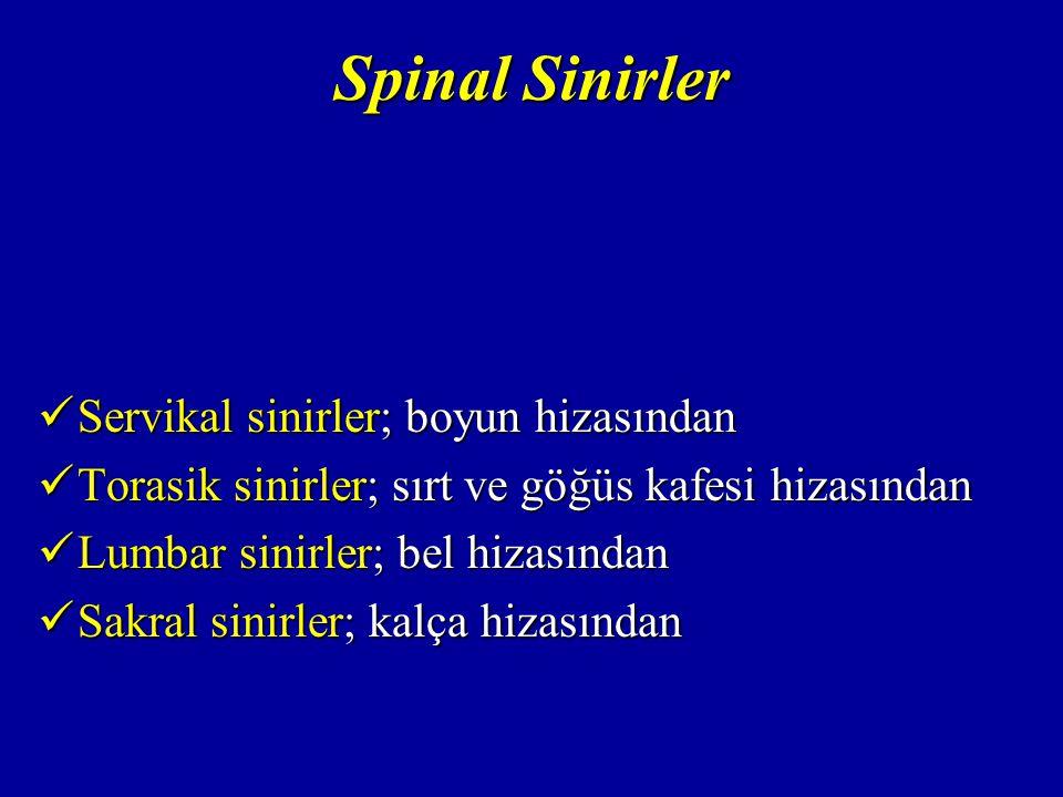 Spinal Sinirler Servikal sinirler; boyun hizasından