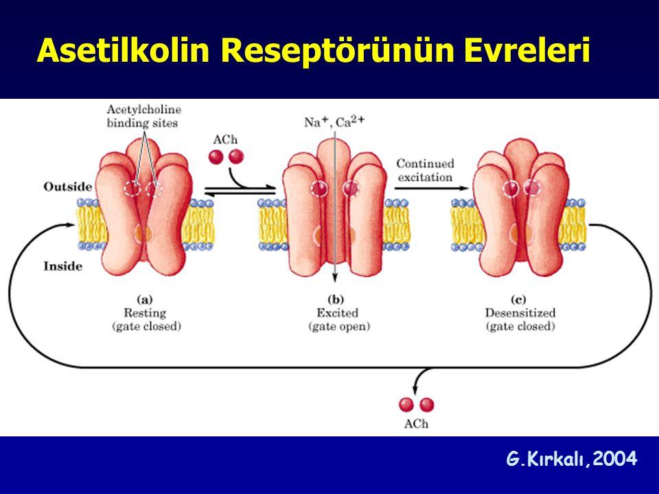 Asetilkolin Reseptörünün Evreleri