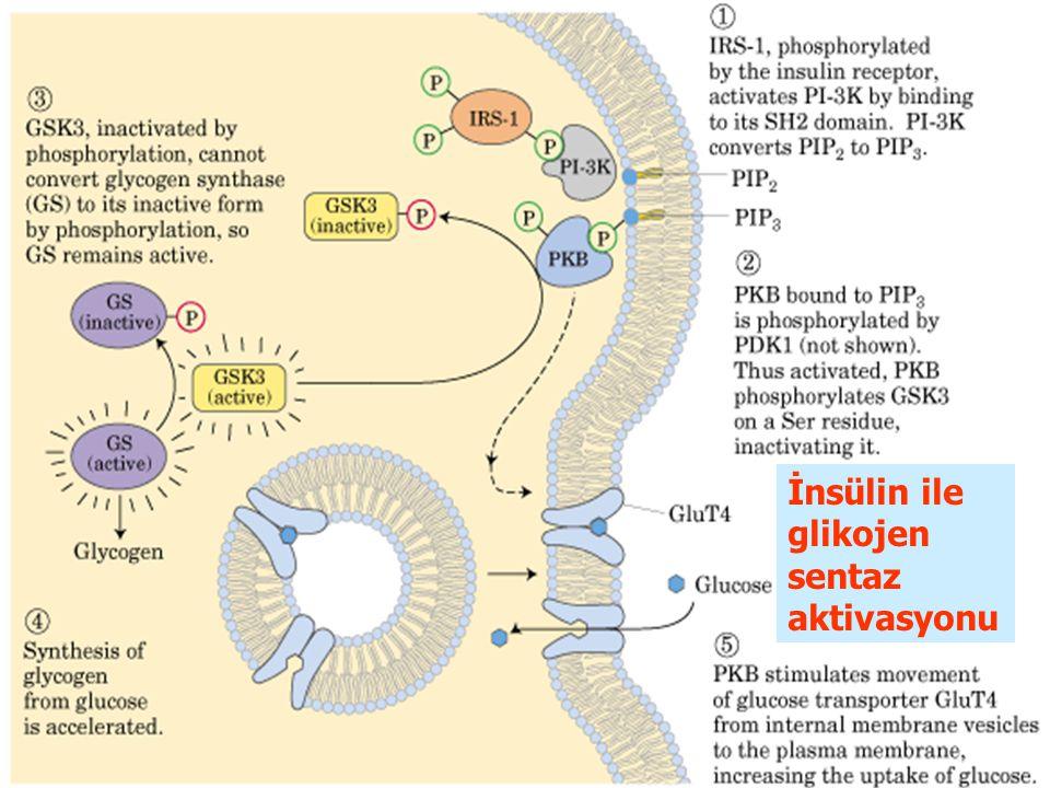 İnsülin ile glikojen sentaz aktivasyonu