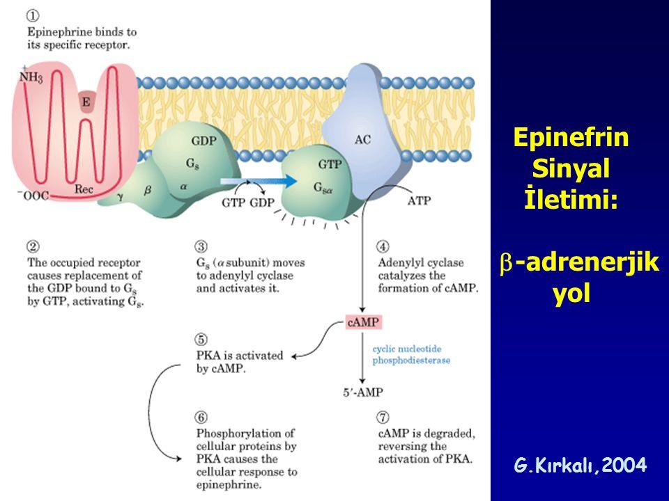 Epinefrin Sinyal İletimi: -adrenerjik yol