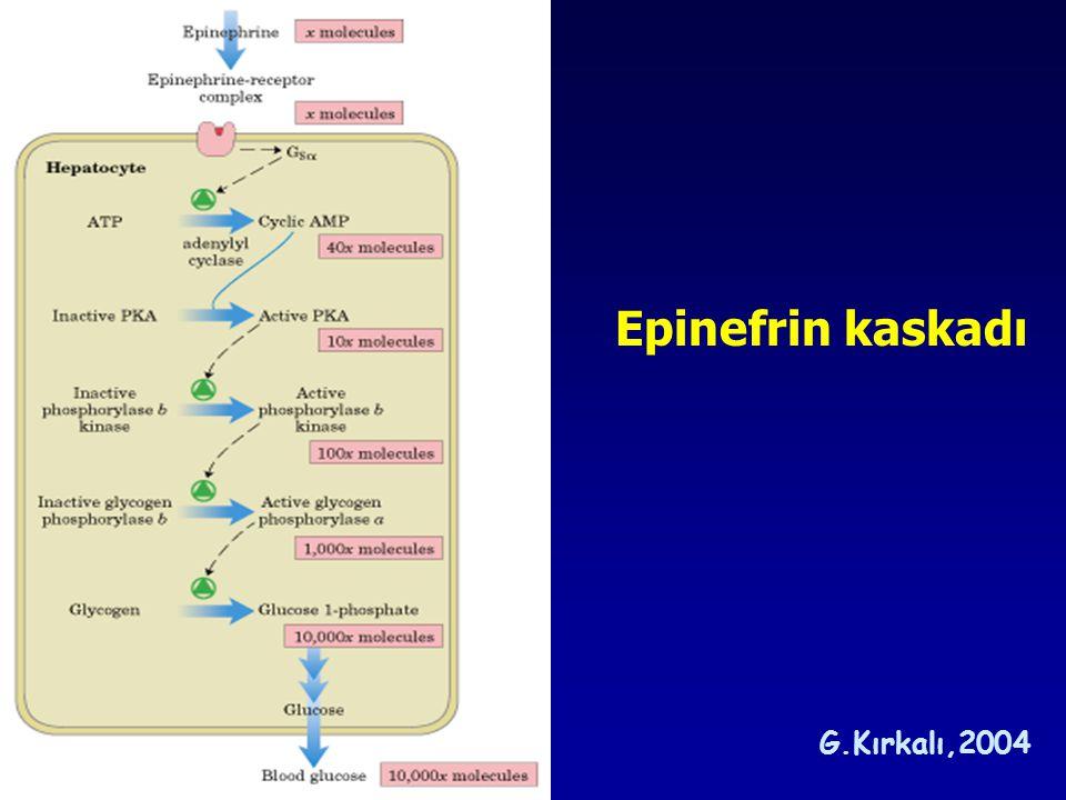 Epinefrin kaskadı G.Kırkalı,2004