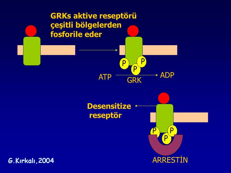 GRKs aktive reseptörü çeşitli bölgelerden fosforile eder P P P ADP ATP