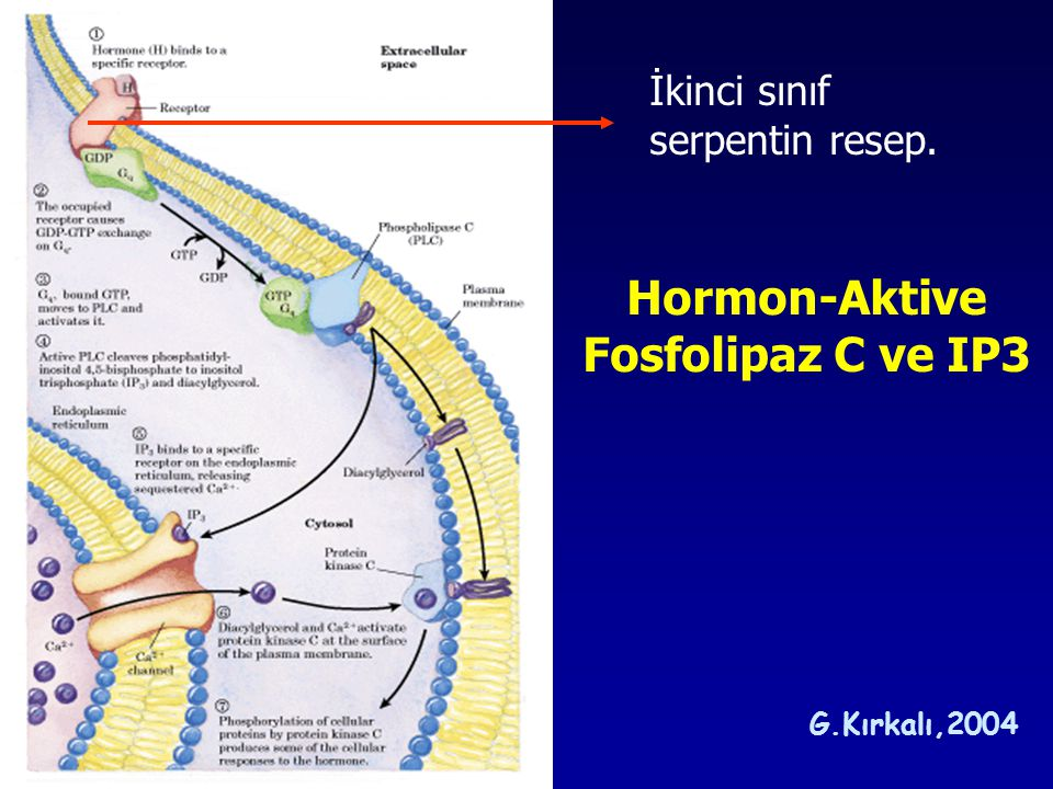 Hormon-Aktive Fosfolipaz C ve IP3