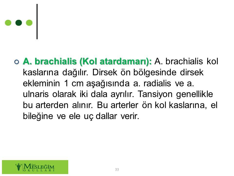 A. brachialis (Kol atardamarı): A. brachialis kol kaslarına dağılır
