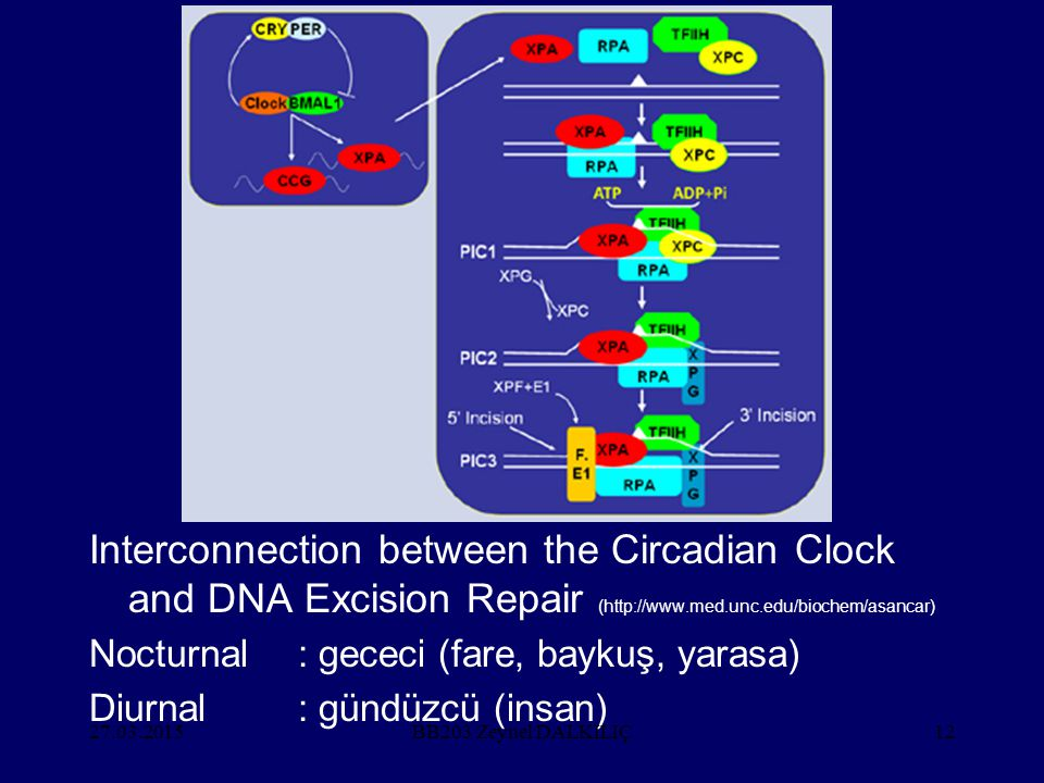 Interconnection between the Circadian Clock and DNA Excision Repair (http://www.med.unc.edu/biochem/asancar)