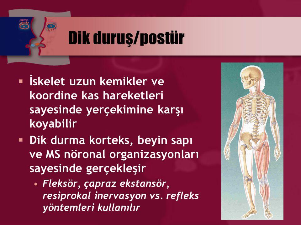 Dik duruş/postür İskelet uzun kemikler ve koordine kas hareketleri sayesinde yerçekimine karşı koyabilir.