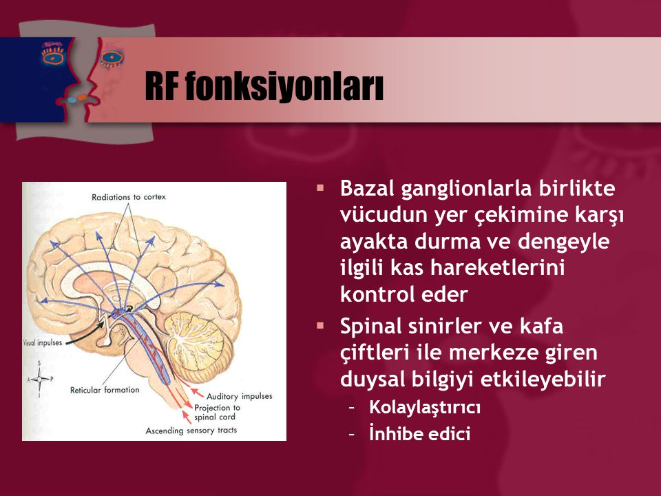 RF fonksiyonları Bazal ganglionlarla birlikte vücudun yer çekimine karşı ayakta durma ve dengeyle ilgili kas hareketlerini kontrol eder.