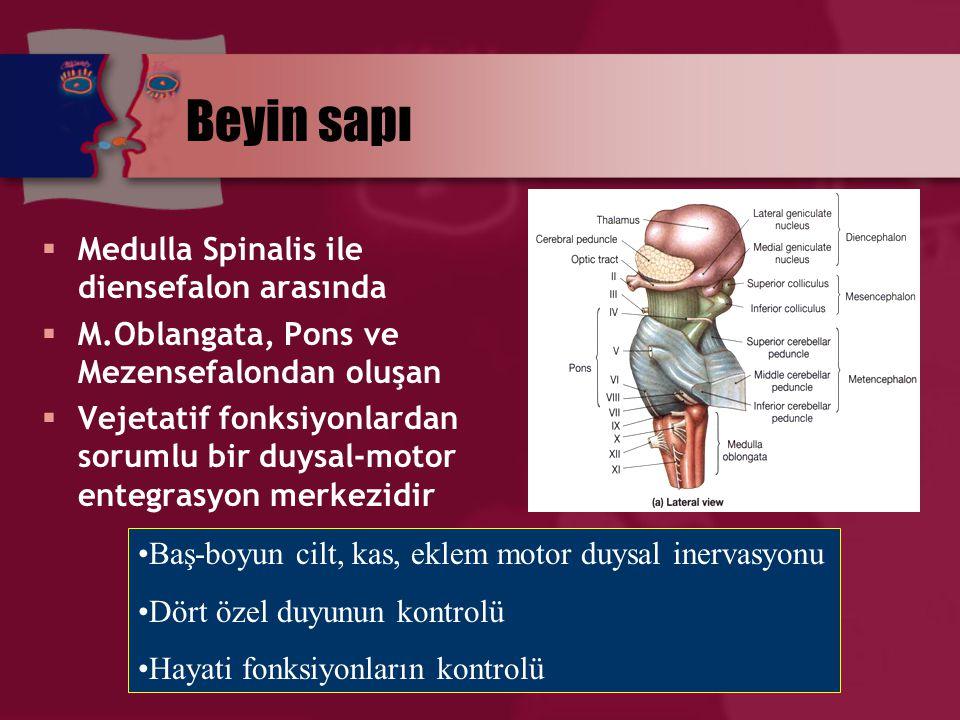 Beyin sapı Medulla Spinalis ile diensefalon arasında