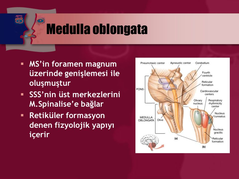 Medulla oblongata MS'in foramen magnum üzerinde genişlemesi ile oluşmuştur. SSS'nin üst merkezlerini M.Spinalise'e bağlar.