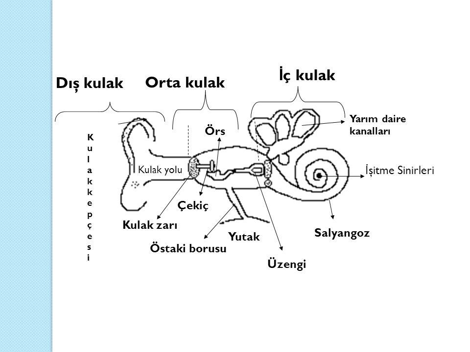 İç kulak Dış kulak Orta kulak Örs İşitme Sinirleri Çekiç Kulak zarı