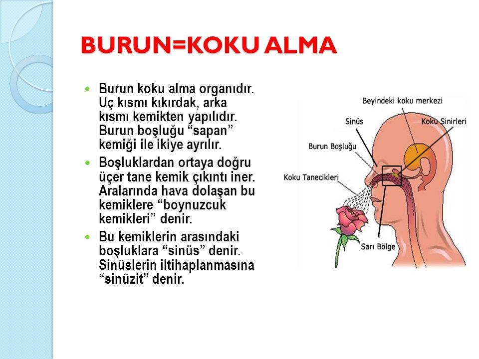 BURUN=KOKU ALMA Burun koku alma organıdır. Uç kısmı kıkırdak, arka kısmı kemikten yapılıdır. Burun boşluğu sapan kemiği ile ikiye ayrılır.