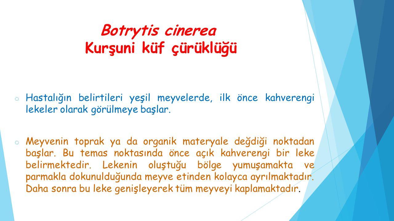 Botrytis cinerea Kurşuni küf çürüklüğü