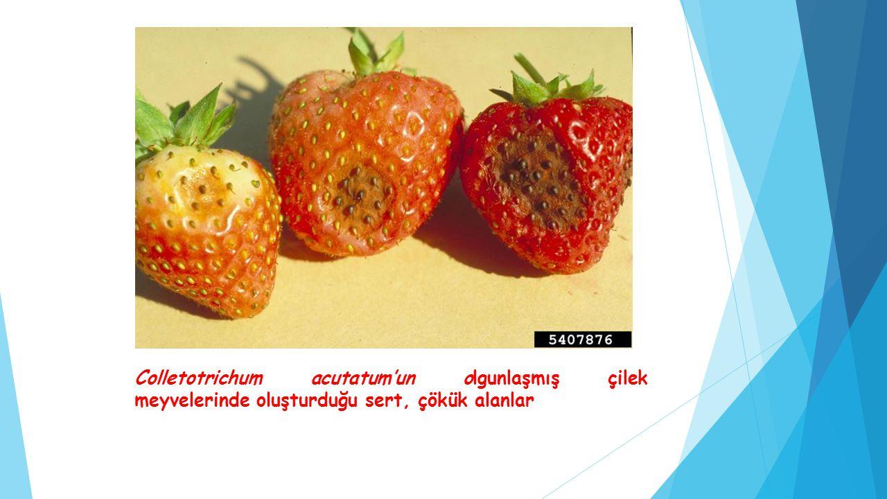 Colletotrichum acutatum'un olgunlaşmış çilek meyvelerinde oluşturduğu sert, çökük alanlar