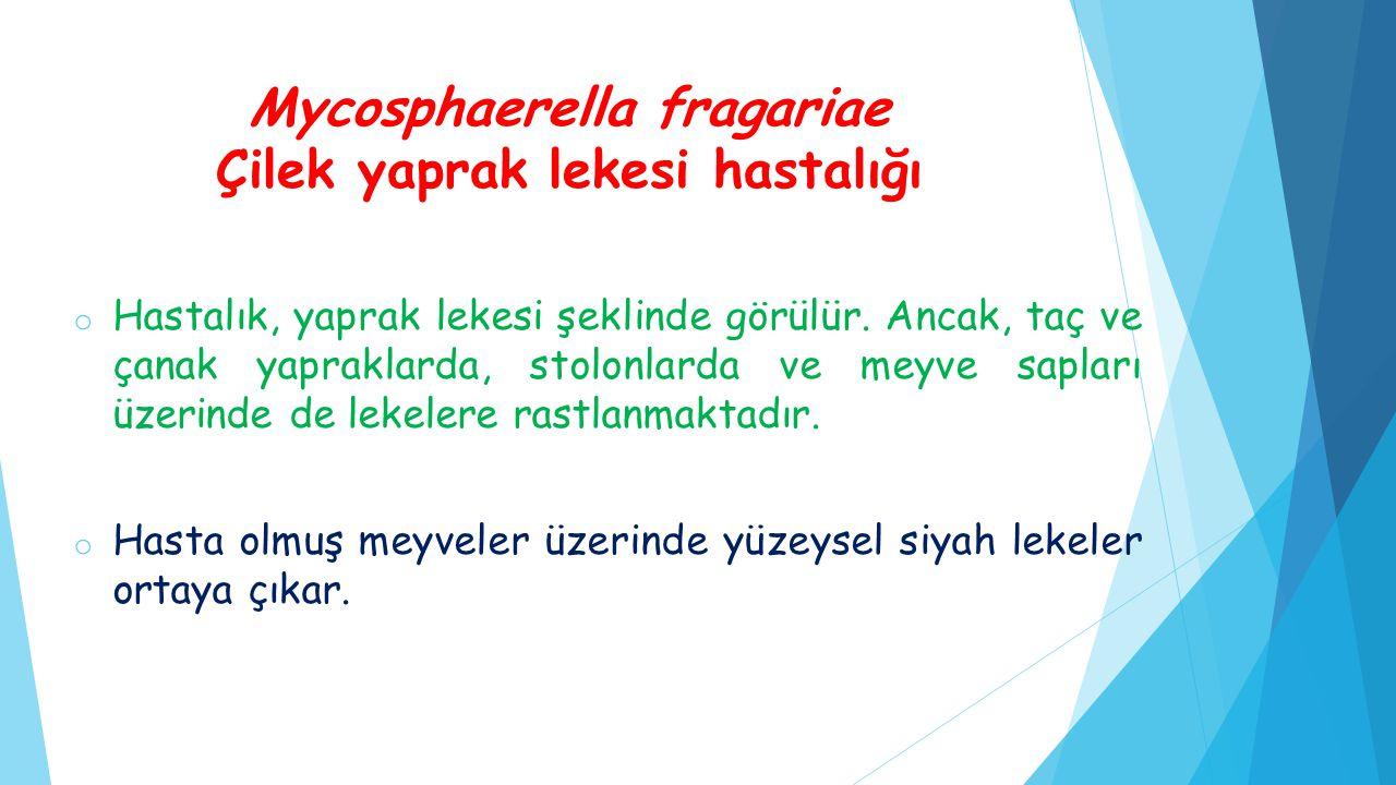 Mycosphaerella fragariae Çilek yaprak lekesi hastalığı