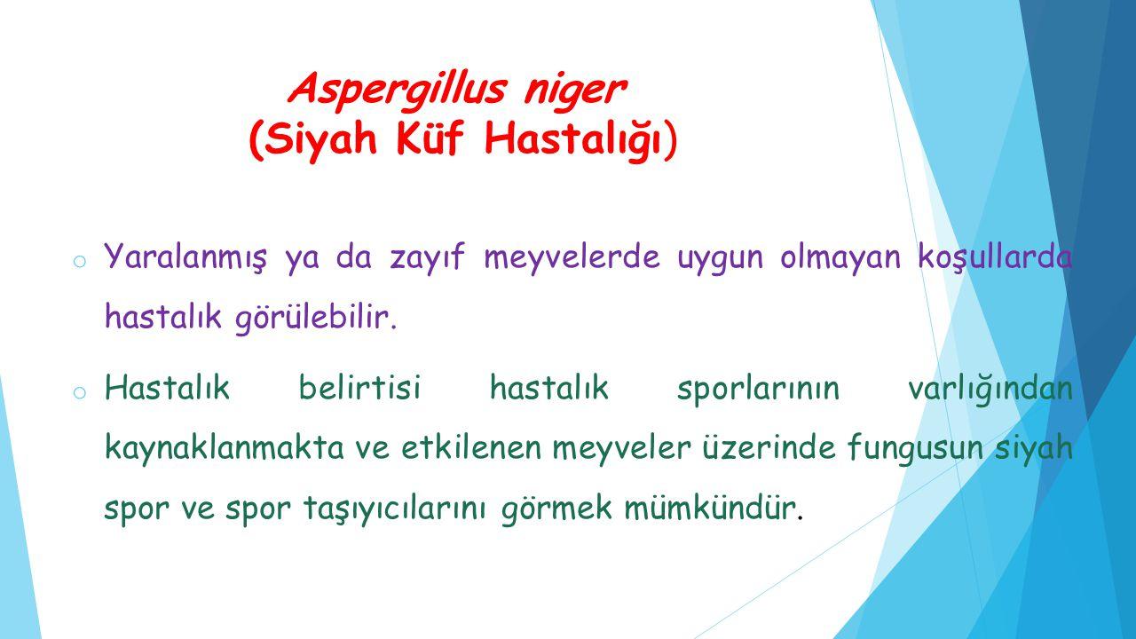 Aspergillus niger (Siyah Küf Hastalığı)