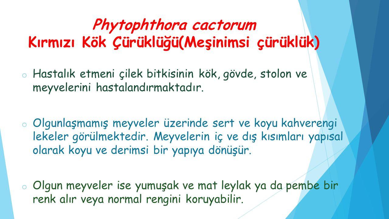 Phytophthora cactorum Kırmızı Kök Çürüklüğü(Meşinimsi çürüklük)