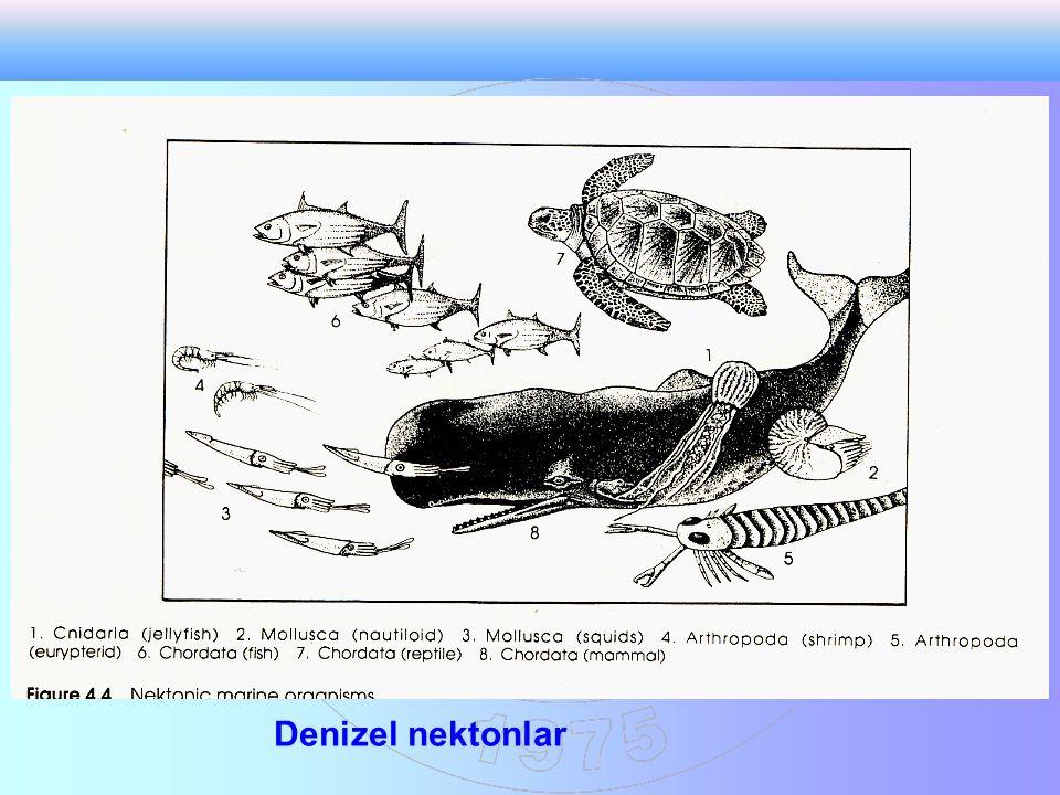Denizel nektonlar