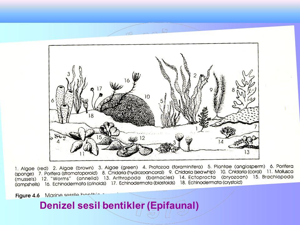 Denizel sesil bentikler (Epifaunal)