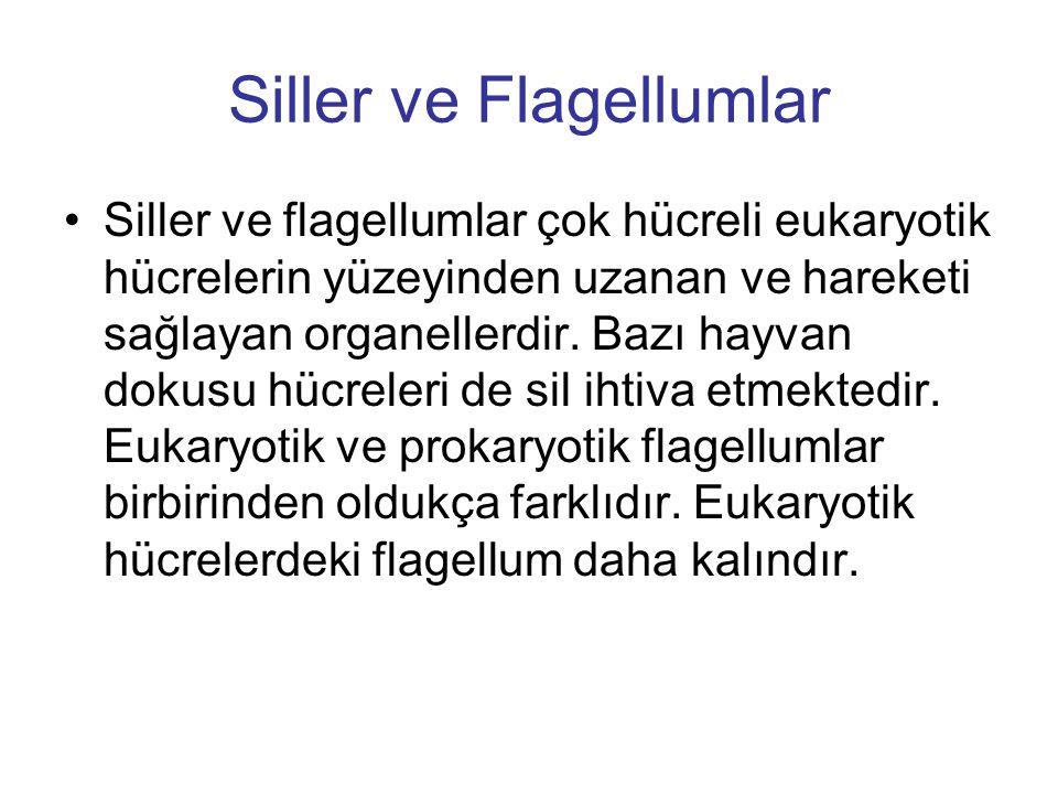Siller ve Flagellumlar
