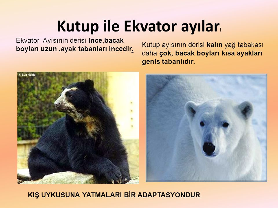 Kutup ile Ekvator ayıları