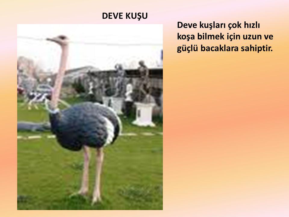 DEVE KUŞU Deve kuşları çok hızlı koşa bilmek için uzun ve güçlü bacaklara sahiptir.