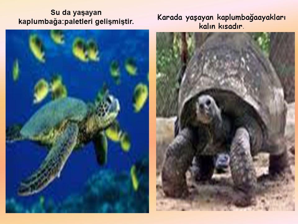 Su da yaşayan kaplumbağa:paletleri gelişmiştir.