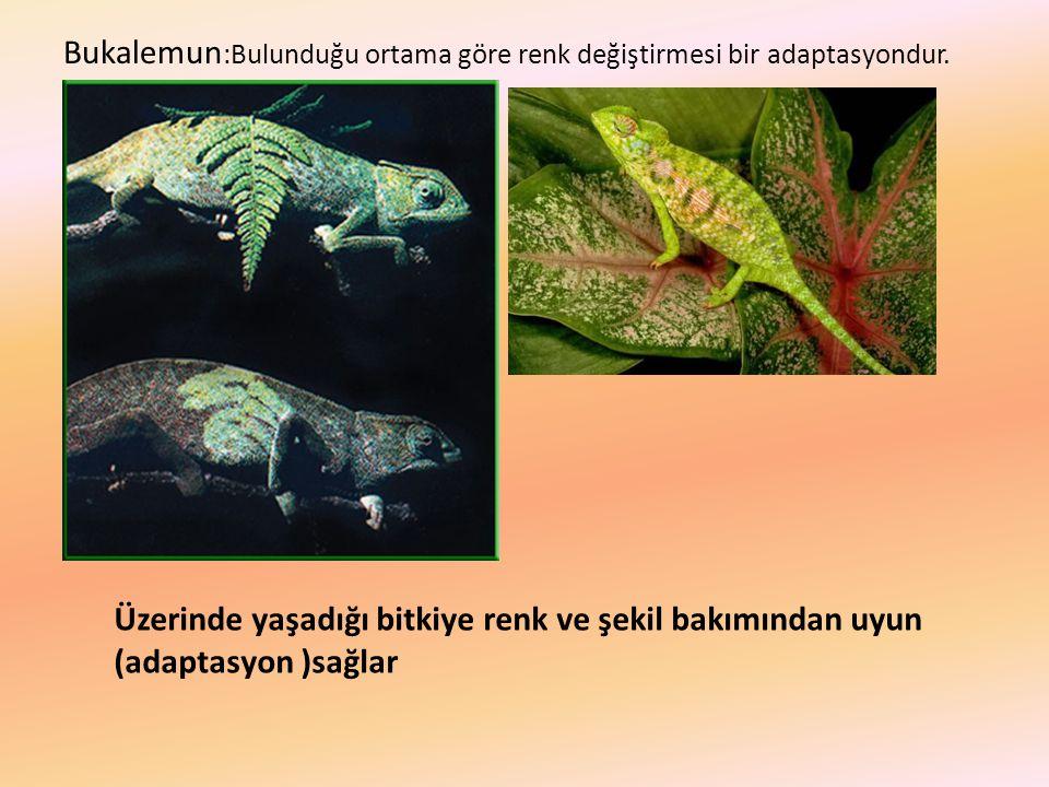Bukalemun:Bulunduğu ortama göre renk değiştirmesi bir adaptasyondur.