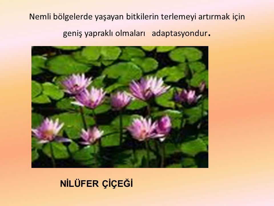 Nemli bölgelerde yaşayan bitkilerin terlemeyi artırmak için geniş yapraklı olmaları adaptasyondur.