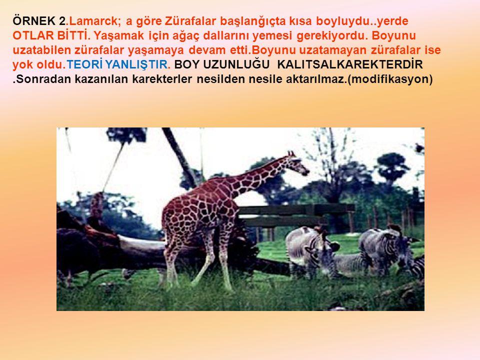 ÖRNEK 2. Lamarck; a göre Zürafalar başlanğıçta kısa boyluydu