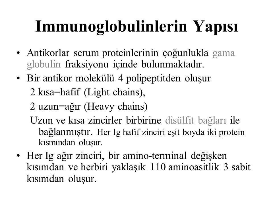 Immunoglobulinlerin Yapısı