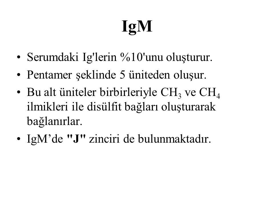 IgM Serumdaki Ig lerin %10 unu oluşturur.