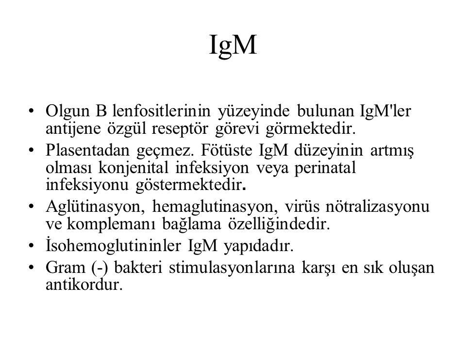 IgM Olgun B lenfositlerinin yüzeyinde bulunan IgM ler antijene özgül reseptör görevi görmektedir.