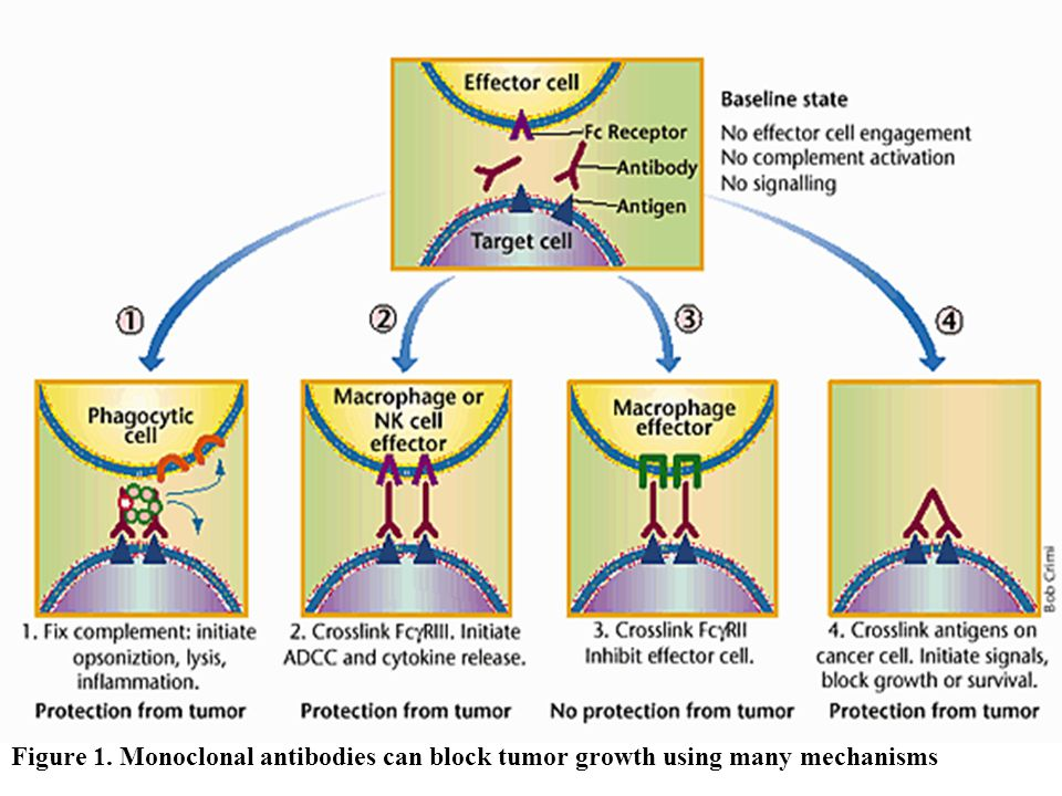 Figure 1. Monoclonal antibodies can block tumor growth using many mechanisms