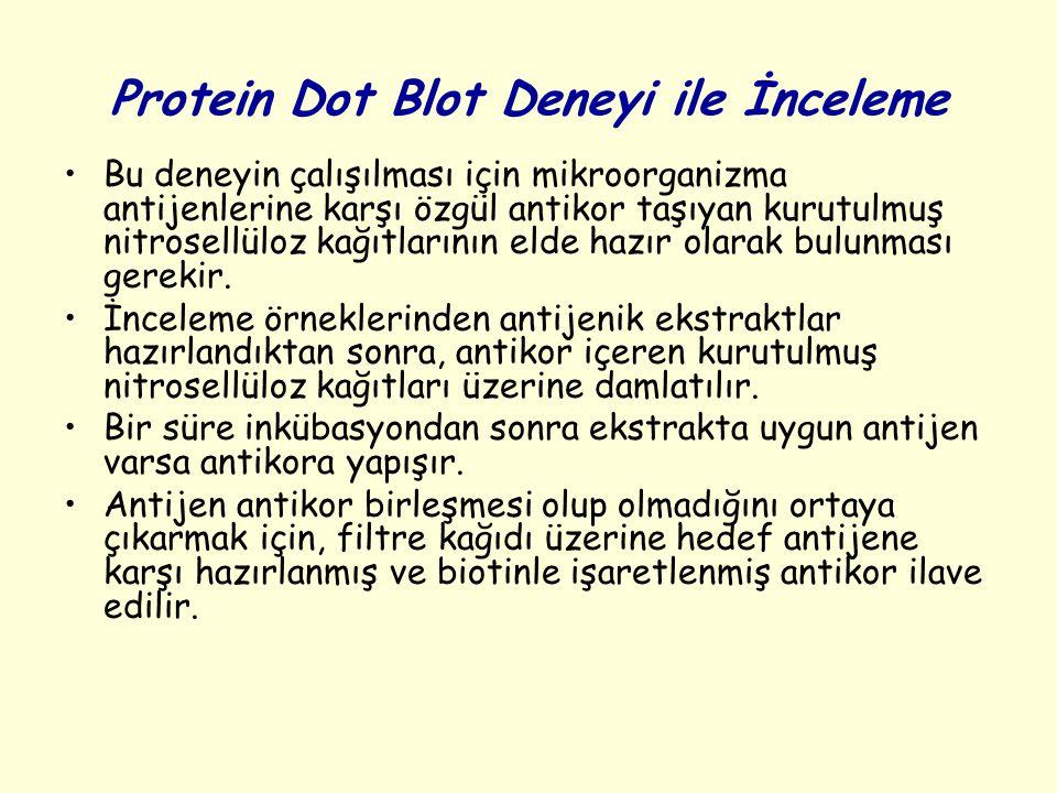 Protein Dot Blot Deneyi ile İnceleme